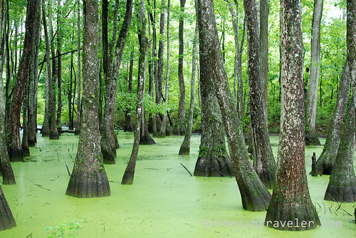 Water Tupelo Cypress Swamp Mississippi