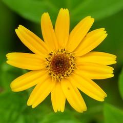 Asteraceae of Ecuador