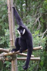 capuchin monkey(0.0), white-headed capuchin(0.0), ape(0.0), gibbon(1.0), animal(1.0), monkey(1.0), zoo(1.0), mammal(1.0), fauna(1.0), spider monkey(1.0), new world monkey(1.0), wildlife(1.0),
