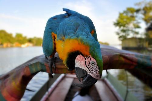 Macaw of the Amazon [EXPLORE]