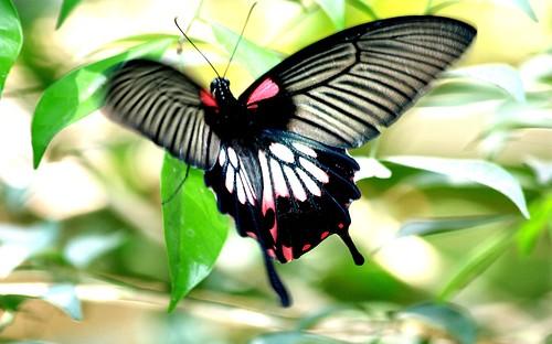 IMG4263/Burma/Arakan State/Sitwé City/Papilio Memnon Agenor Distantianus/female flying