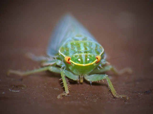 Leafhopper Face On...
