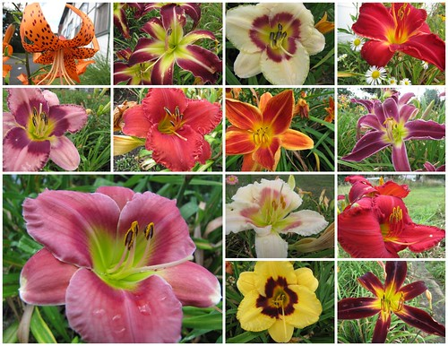 Assorted Lilies