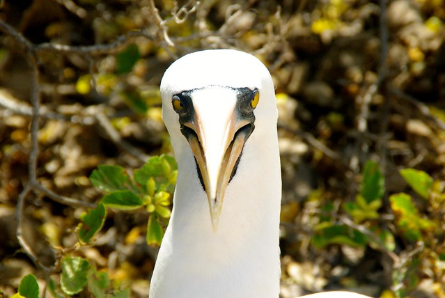 Nazca booby in the galapagos