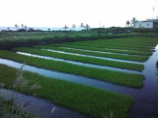 港口部落以糯米種子在田裡育苗。(攝影:舒米如妮)