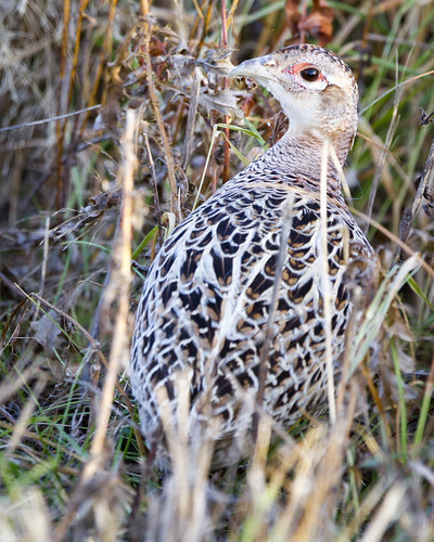 Female (hen) Ring-necked Pheasant by Ricky L. Jones Photography