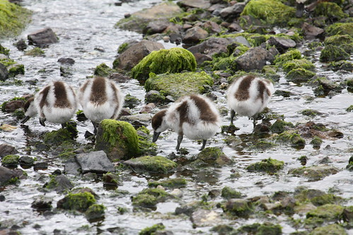 PAradise shell duck chicks by ricmcarthur