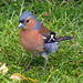 Chaffinch by Mary (No Group Invites Please)