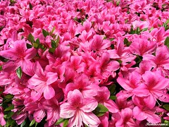 Azaleas and Rhododendrons