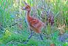 Sandhill Crane Colt 16-0604-3292 by digitalmarbles