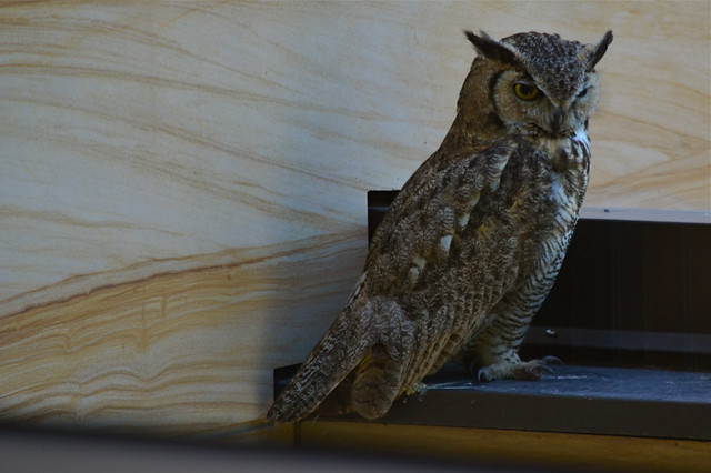 Great Horned Owl (Bubo Virginianis)