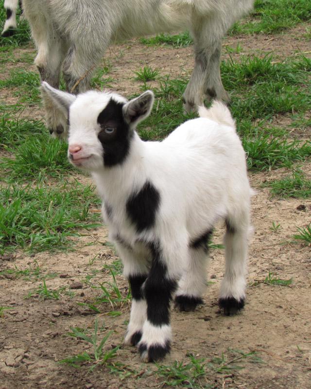 goats mar2012 1