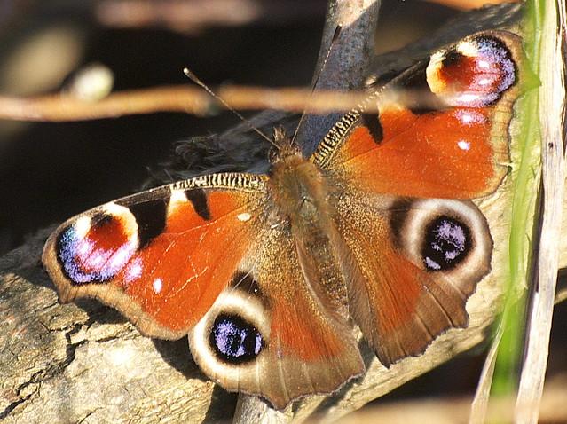 DSC_3696 Peacock butterfly