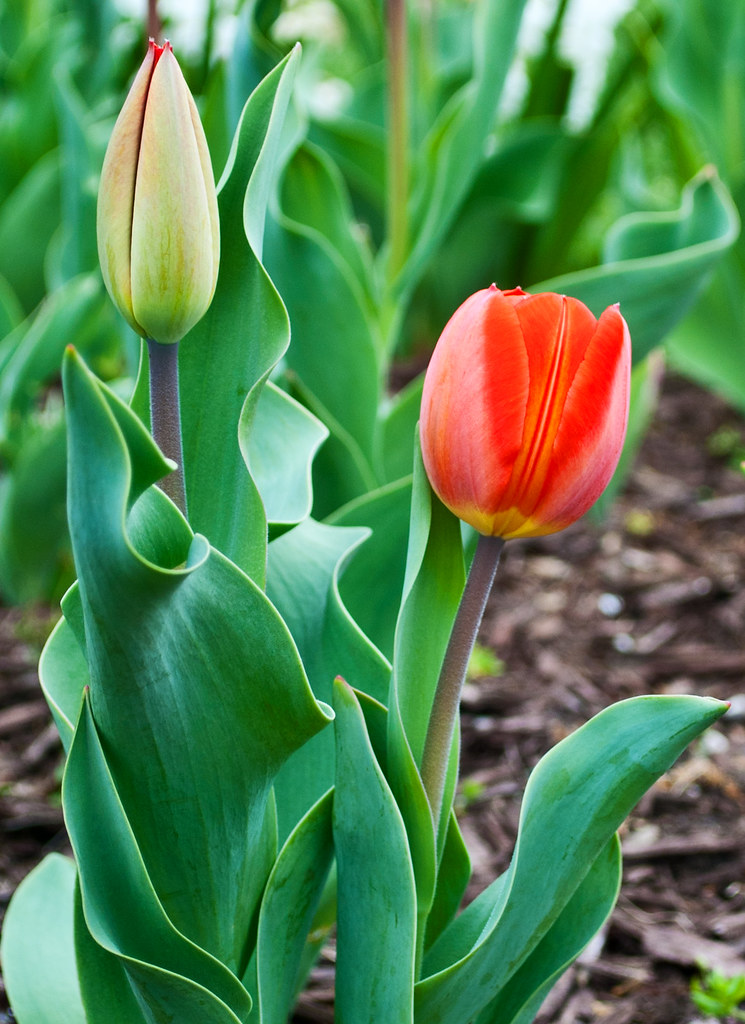 365-277 Tulips