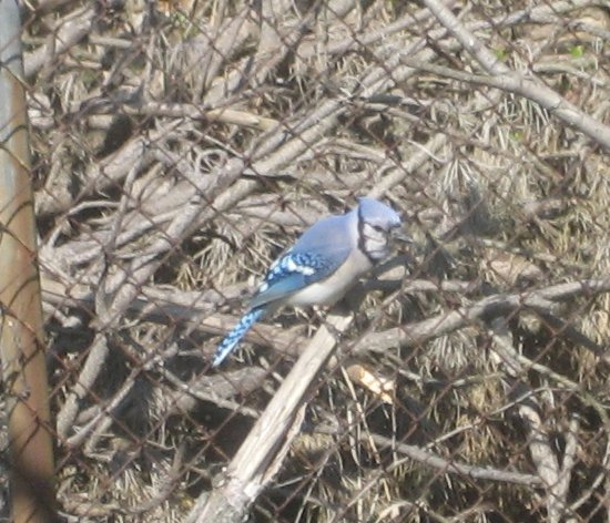 [a bluejay on a branch]