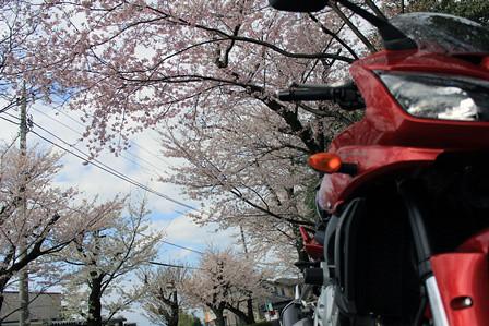 遺伝学研究所の桜