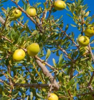 Fruit de l'arganier d'où est extraite l'huile d'argan