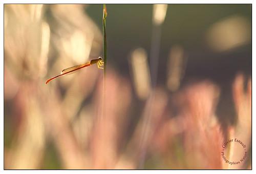 macro nature canon insect de eos la du 100mm 7d damselfly f28 réunion olivier gol insecte étang île odonata photographies odonate 974 esnault demoisele olivieresnaultcom