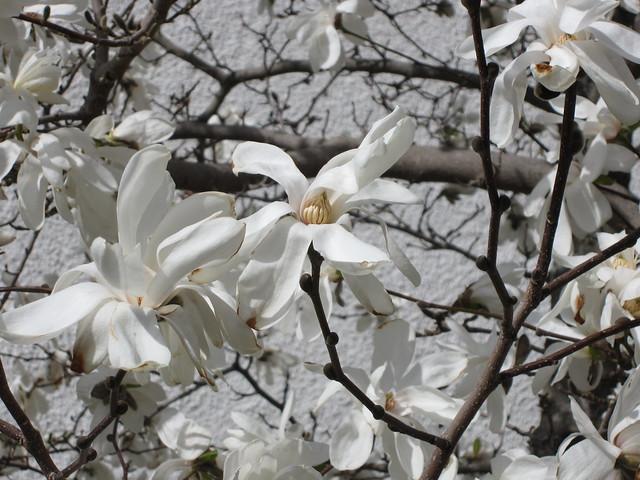 Magnoliaträd i blom