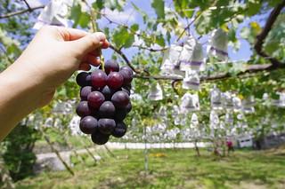 Grape picking at Okazaki