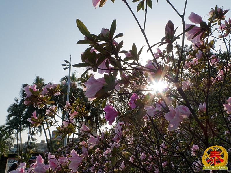 假掰的台大公園杜鵑花-13
