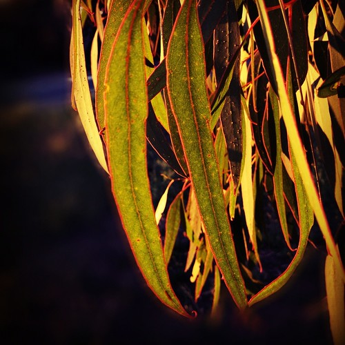 morning leaves sunrise adelaide iphone iphoneography iphone4s
