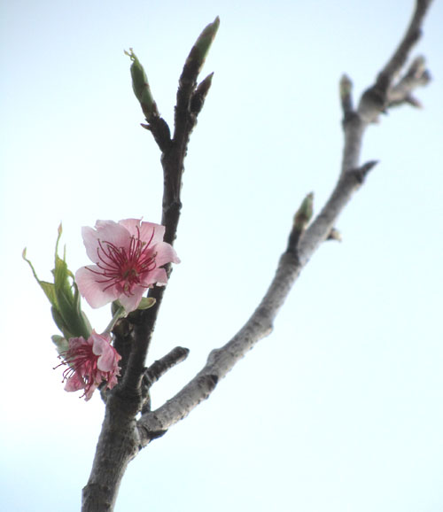 Early cherry blossoms in Okinawa