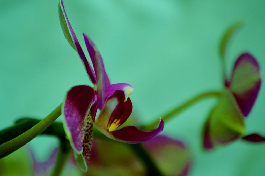 Purple Phalaenopsis Rebloom Orchid Allisa Corsbie Flickr