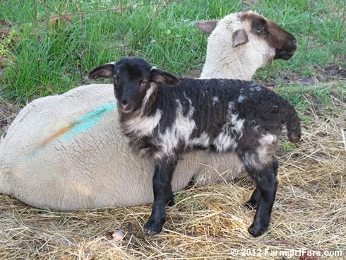 Random Lamb Snaps 18 - FarmgirlFare.com