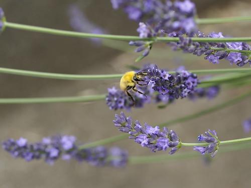 Work of a honeybee by leicadaisuki