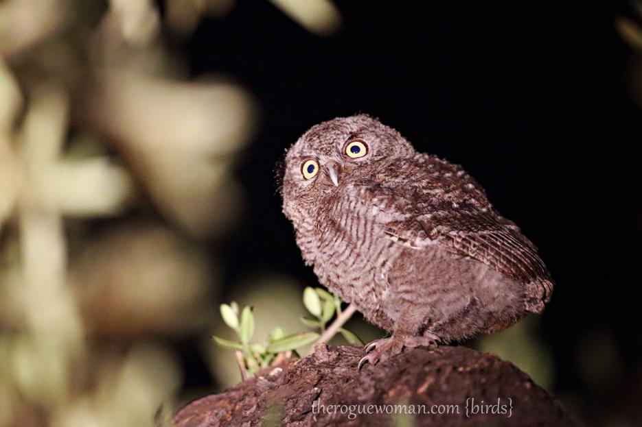 Let alone adorable little baby owls western screech owl babies