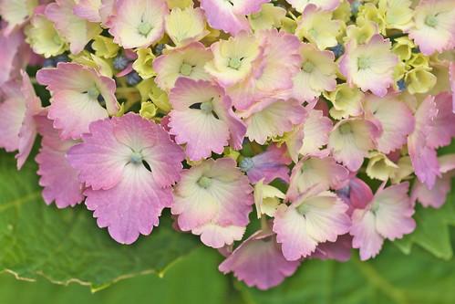 紫陽花 2012