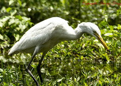 animal, wing, nature, green, fauna, little blue heron, great egret, heron, pelecaniformes, beak, bird, wildlife,