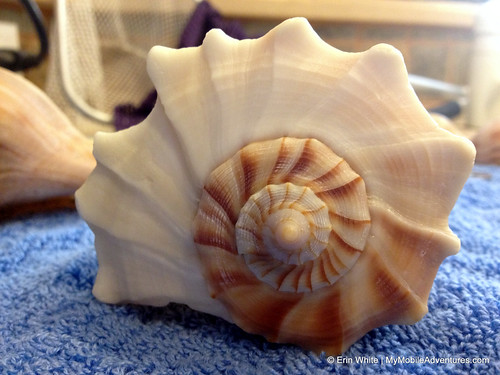 Multi-toned lightning whelk