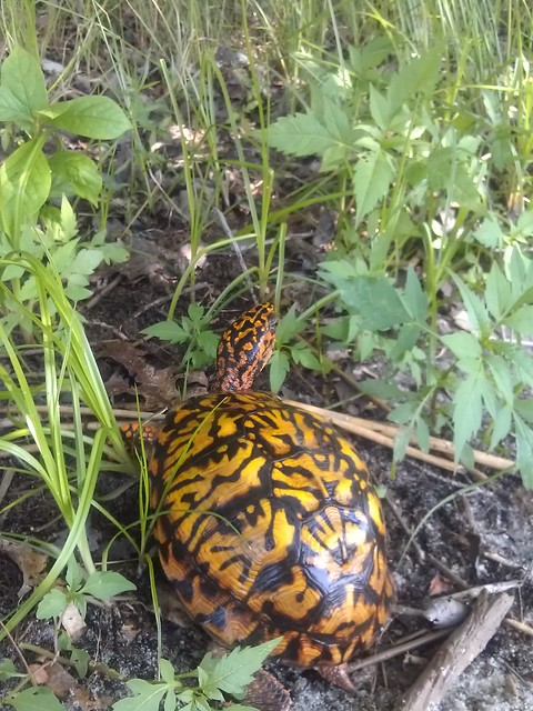 One box turtle retrieved from the road to live in the woods another day! June 29, 2012