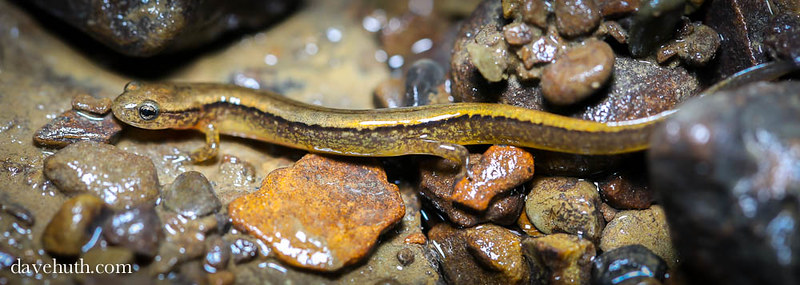 Northern two-lined salamander (Eurycea bislineata) - lateral view