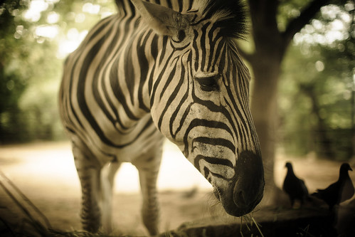 Melancholy of a Zebra