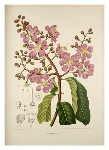 013-Flores del arbol de Jupiter-Fleurs, fruits et feuillages choisis de l'ille de Java-1880- Berthe Hoola van Nooten