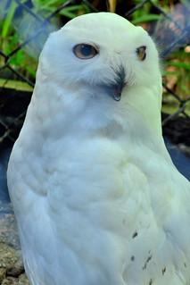 Image of フクロウ near Hino. zoo 動物園 tamazoo tamazoologicalpark 多摩動物園