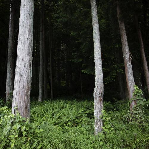 Cedar Forrest, Yorokeikoku, Chiba, Japan