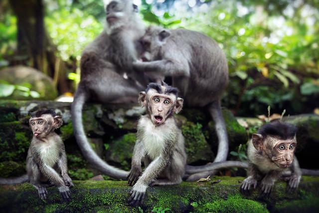 Les singes sont bien trop bons pour que l'homme puisse descendre d'eux.