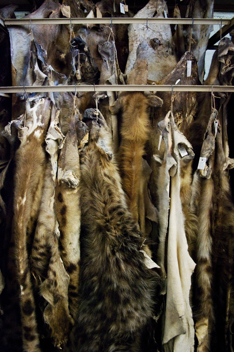 Unlike dog skins, like the hyena seen here, cat skins don't go as hard as others. They remain, for the large part, soft and supple.
