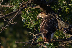 Young Red-tailed Hawk_6071.jpg by Mully410 * Images