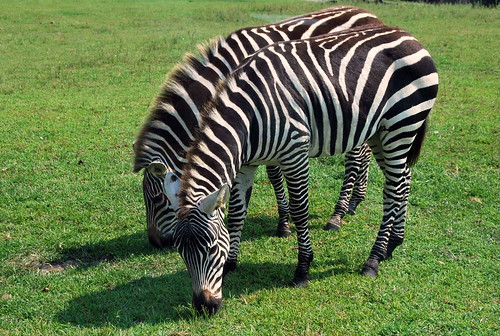 Safari - pair of zebras