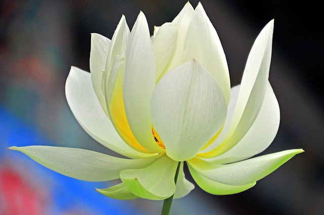 White Lotus Blossom -- Bongwon Temple -- Seoul