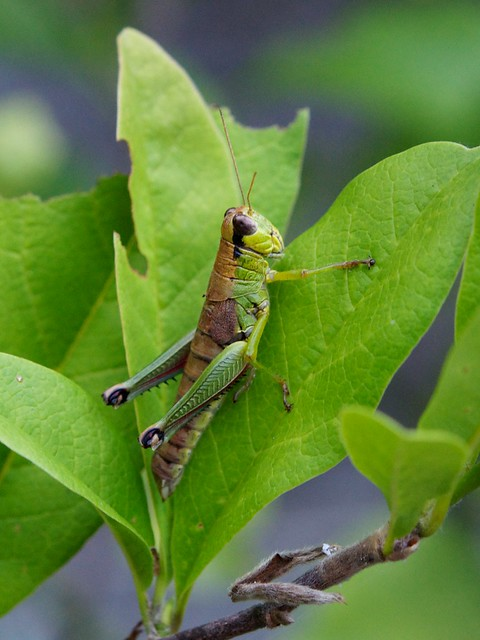 grasshopper or cricket