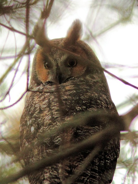 Long-eared Owl 2-20121103