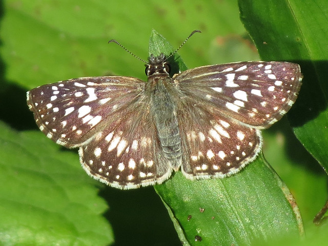checkered skipper sp.