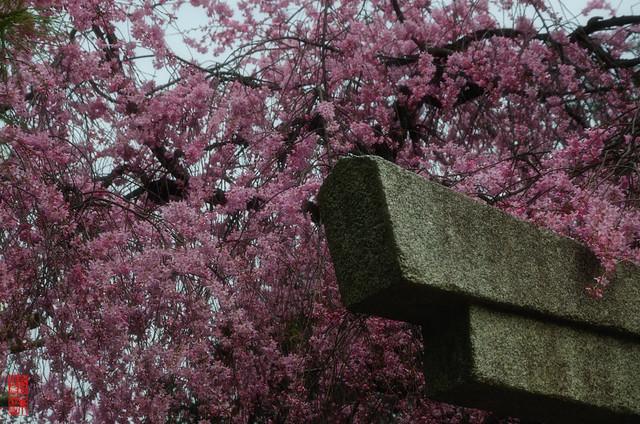 「咲きこぼれる」 水火天満宮 - 京都