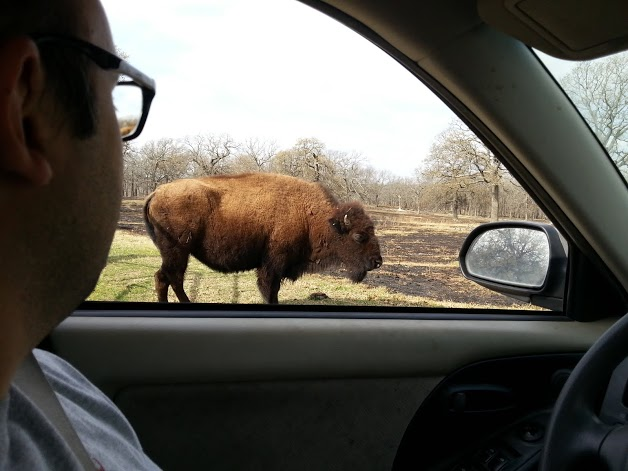 Phillip Looking at Bison